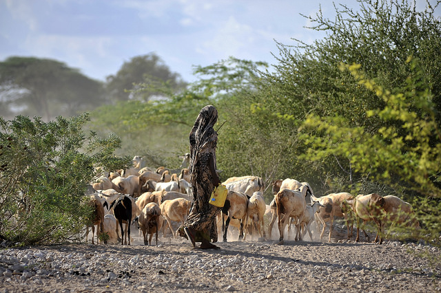 Goats being herded near a water point in Wajir, northern Kenya
