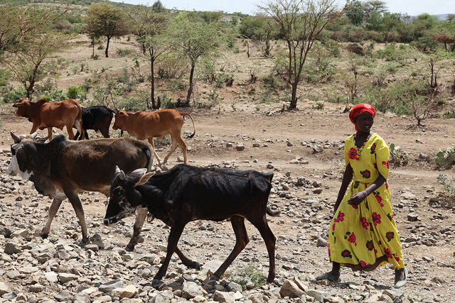 Cattle on the outskirts of Wajir, northern Kenya